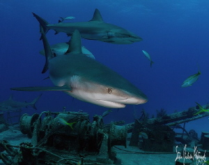 The Reef Sharks swarmed like they had not seen visitors i... by Steven Anderson 